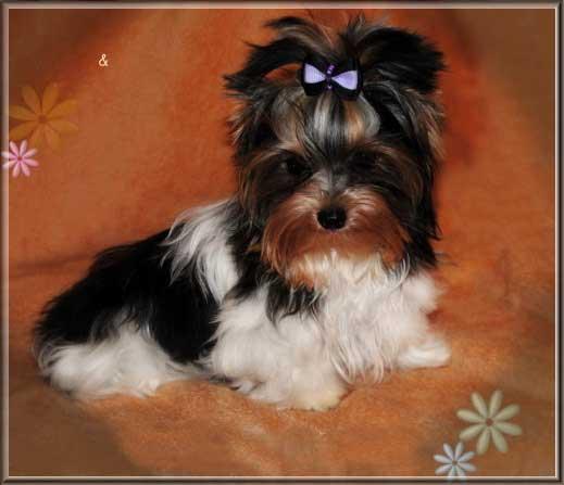 Lio Xelio von ver la luz 6 Monate 3jpg | Hundezucht von Martina Dase ver-la-luz - Golddust und Biewer Yorkshire Terrier a la Pom Pon