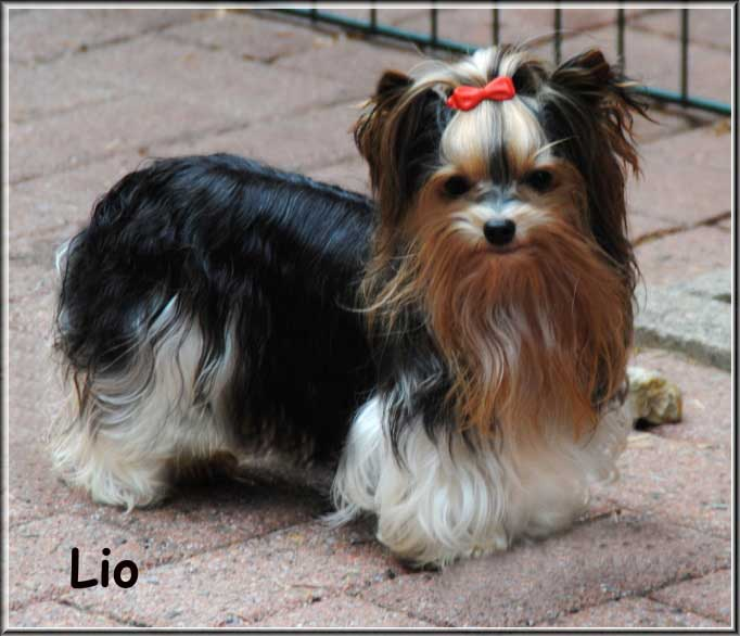 Lio Xelio von ver la luz 6 Monate 5jpg | Hundezucht von Martina Dase ver-la-luz - Golddust und Biewer Yorkshire Terrier a la Pom Pon