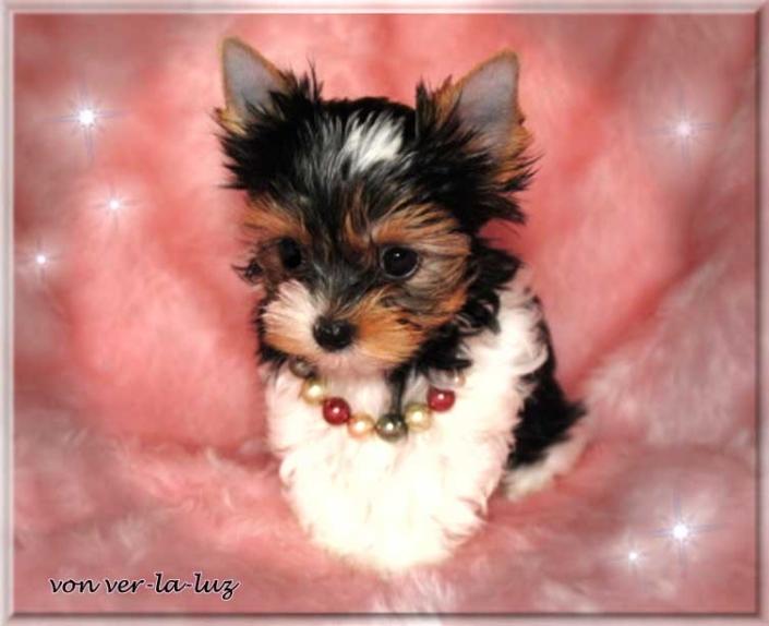 Lucie T Tamila 9 wochen 1 | Hundezucht von Martina Dase ver-la-luz - Golddust und Biewer Yorkshire Terrier a la Pom Pon