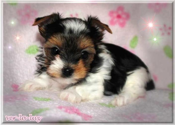 Lucie T Tamila Babe 6 Wochen 1 1   Hundezucht von Martina Dase ver-la-luz - Golddust und Biewer Yorkshire Terrier a la Pom Pon