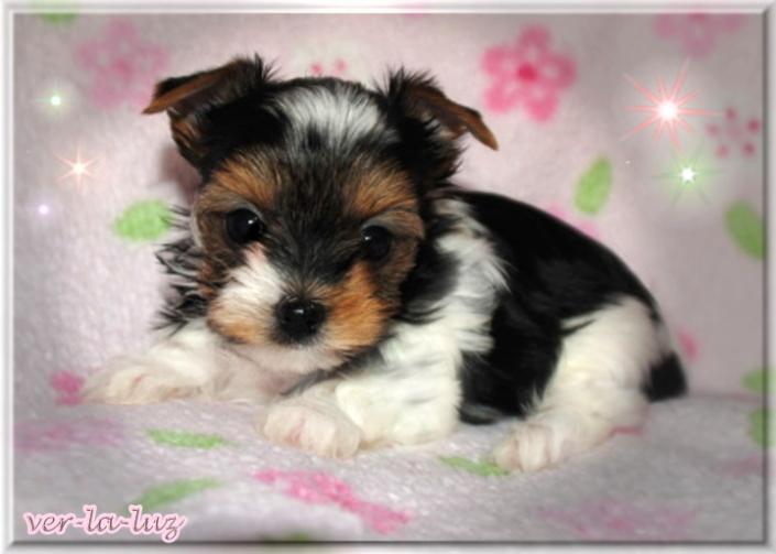 Lucie T Tamila Babe 6 Wochen 1 | Hundezucht von Martina Dase ver-la-luz - Golddust und Biewer Yorkshire Terrier a la Pom Pon