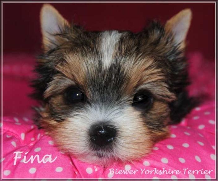Lulu F Biewer Yorkshire Terrier Maedchen Fina von ver la luz 65 wochen 3 1 | Hundezucht von Martina Dase ver-la-luz - Golddust und Biewer Yorkshire Terrier a la Pom Pon