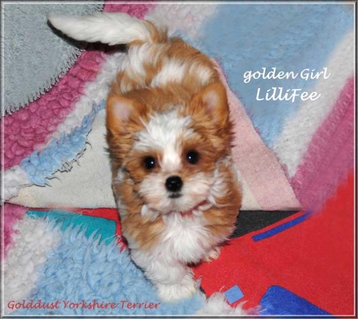 Lulu L Golddust Yorkshire Terrier Maedchen golden girl Lillifee von ver la luz 15 wochen 2   Hundezucht von Martina Dase ver-la-luz - Golddust und Biewer Yorkshire Terrier a la Pom Pon