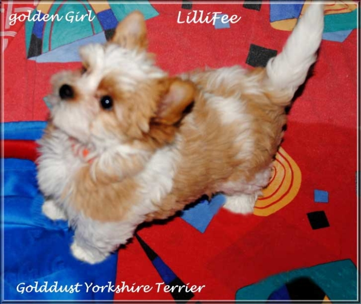 Lulu L Golddust Yorkshire Terrier Maedchen golden girl Lillifee von ver la luz 15 wochen 3   Hundezucht von Martina Dase ver-la-luz - Golddust und Biewer Yorkshire Terrier a la Pom Pon