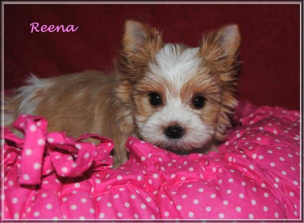 Lulu R Golddust Yorkshire Terrier Huendin Reena von ver la luz 65 wochen 2 1 | Hundezucht von Martina Dase ver-la-luz - Golddust und Biewer Yorkshire Terrier a la Pom Pon