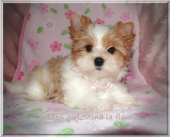 Lulu S golden girl Stina la flour 9 wochen 2   Hundezucht von Martina Dase ver-la-luz - Golddust und Biewer Yorkshire Terrier a la Pom Pon