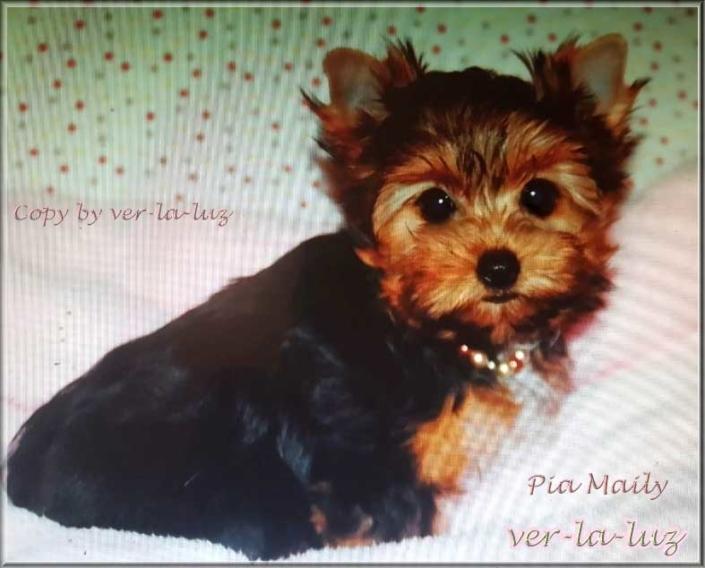 Maily Yorkshire Terrier Maedchen 4 Monate von ver la luz 1 2 | Hundezucht von Martina Dase ver-la-luz - Golddust und Biewer Yorkshire Terrier a la Pom Pon