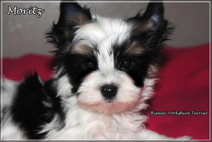 Mariella M Biewer Yorkshire Terrier Ruede Moritz von ver la luz 8 Wochen 2 | Hundezucht von Martina Dase ver-la-luz - Golddust und Biewer Yorkshire Terrier a la Pom Pon