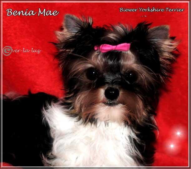 Milotta B Biewer Yorkshire Terrier Maedchen Benia Mae von ver la luz 16 wochen 4 1 | Hundezucht von Martina Dase ver-la-luz - Golddust und Biewer Yorkshire Terrier a la Pom Pon