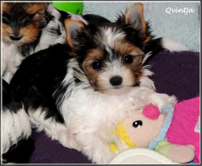 Milotta Q Qvintja 9 Wochen 1   Hundezucht von Martina Dase ver-la-luz - Golddust und Biewer Yorkshire Terrier a la Pom Pon