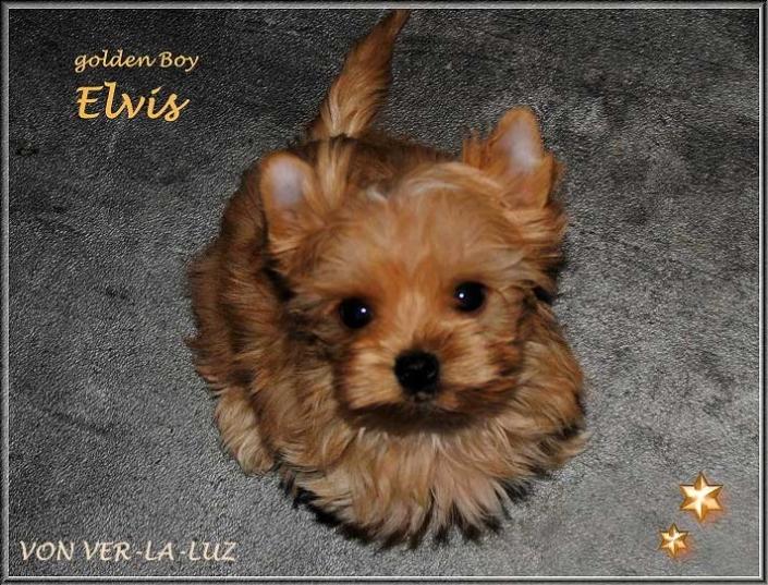 Mina E Golddust Yorkshire Terrier Ruede golden Boy Elvis von ver la luz 8 wochen 1 | Hundezucht von Martina Dase ver-la-luz - Golddust und Biewer Yorkshire Terrier a la Pom Pon