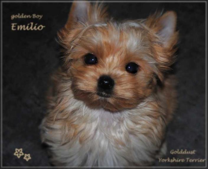 Mina E Golddust Yorkshire Terrier Ruede mini golden Boy Emilio von ver la luz 8 wochen 3 | Hundezucht von Martina Dase ver-la-luz - Golddust und Biewer Yorkshire Terrier a la Pom Pon