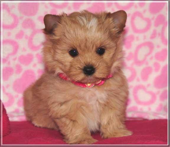 Mina K Katje 7 Wochen 5   Hundezucht von Martina Dase ver-la-luz - Golddust und Biewer Yorkshire Terrier a la Pom Pon