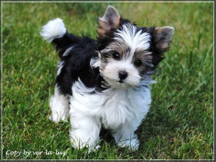 Nela B Biewer Yorkshire Terrier Boomer von ver la luz 11 wochen 1 1 | Hundezucht von Martina Dase ver-la-luz - Golddust und Biewer Yorkshire Terrier a la Pom Pon