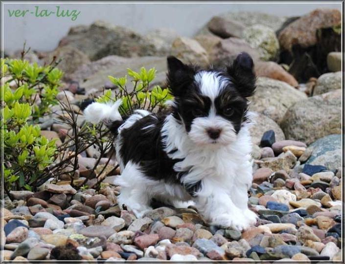 Nela B Biro Yorkshire Terrier Ruede Baliey von ver la luz 7 wochen 10 | Hundezucht von Martina Dase ver-la-luz - Golddust und Biewer Yorkshire Terrier a la Pom Pon
