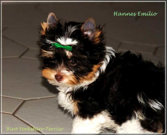 Nela H Biro Yorkshire Terrier Ruede Hannes Emilio von ver la luz 15 wochen 1 | Hundezucht von Martina Dase ver-la-luz - Golddust und Biewer Yorkshire Terrier a la Pom Pon