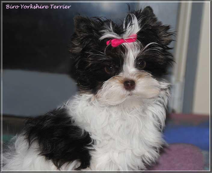 Nela H Biro Yorkshire Terrier mini Maedchen Hanna Sophie von ver la luz 4 Monate 6   Hundezucht von Martina Dase ver-la-luz - Golddust und Biewer Yorkshire Terrier a la Pom Pon