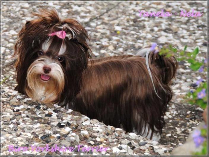 Nela Yanela Biro Yorkshire Terrier Huendin von ver la luz 1 Jahr 1 | Hundezucht von Martina Dase ver-la-luz - Golddust und Biewer Yorkshire Terrier a la Pom Pon