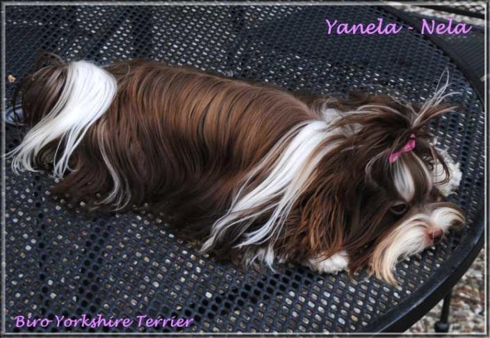Nela Yanela Biro Yorkshire Terrier Huendin von ver la luz 1 Jahr 2 | Hundezucht von Martina Dase ver-la-luz - Golddust und Biewer Yorkshire Terrier a la Pom Pon