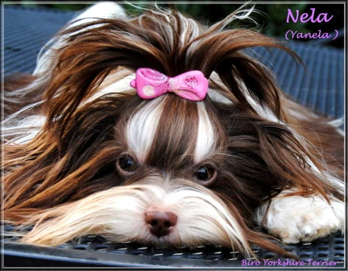 Nela Yanela Biro Yorkshire Terrier Huendin von ver la luz 1 Jahr 3   Hundezucht von Martina Dase ver-la-luz - Golddust und Biewer Yorkshire Terrier a la Pom Pon