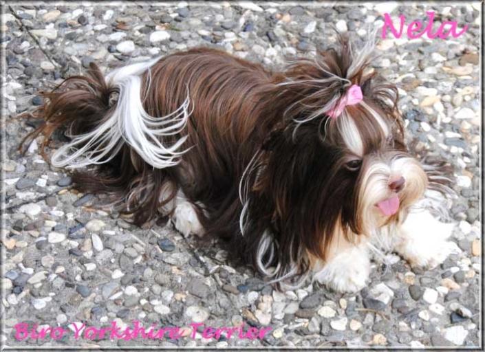 Nela Yanela Biro Yorkshire Terrier Huendin von ver la luz 1 Jahr 4 1 | Hundezucht von Martina Dase ver-la-luz - Golddust und Biewer Yorkshire Terrier a la Pom Pon
