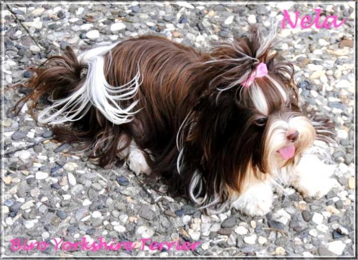 Nela Yanela Biro Yorkshire Terrier Huendin von ver la luz 1 Jahr 4   Hundezucht von Martina Dase ver-la-luz - Golddust und Biewer Yorkshire Terrier a la Pom Pon