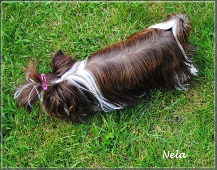 Nela Yanela Biro Yorkshire Terrier Huendin von ver la luz 1 Jahr 5 | Hundezucht von Martina Dase ver-la-luz - Golddust und Biewer Yorkshire Terrier a la Pom Pon