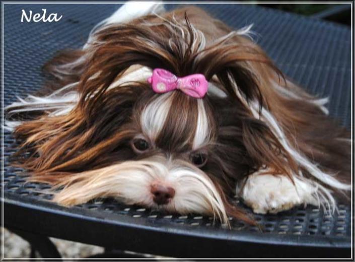 Nela Yanela Biro Yorkshire Terrier Huendin von ver la luz 1 Jahr 7 | Hundezucht von Martina Dase ver-la-luz - Golddust und Biewer Yorkshire Terrier a la Pom Pon