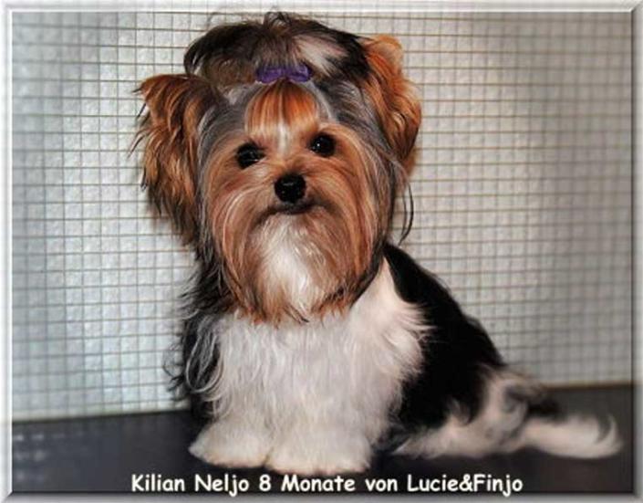 Neljo 8 Monate 1 | Hundezucht von Martina Dase ver-la-luz - Golddust und Biewer Yorkshire Terrier a la Pom Pon