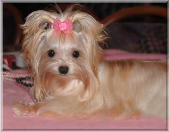 Pueppi 9 Monate 3 | Hundezucht von Martina Dase ver-la-luz - Golddust und Biewer Yorkshire Terrier a la Pom Pon