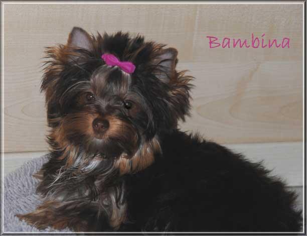 Schoko Yorkshire Terrier Bambina 6 Monate bei ver la luz 2 2 1 | Hundezucht von Martina Dase ver-la-luz - Golddust und Biewer Yorkshire Terrier a la Pom Pon