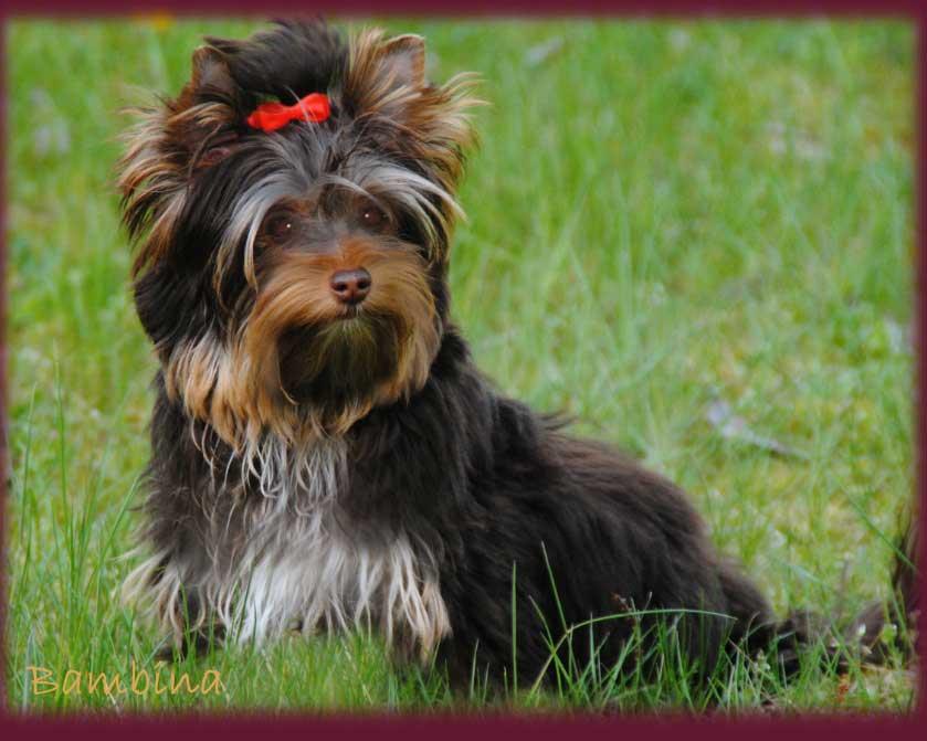 Schoko Yorkshire Terrier Bambina zu Hause bei ver la luz | Hundezucht von Martina Dase ver-la-luz - Golddust und Biewer Yorkshire Terrier a la Pom Pon