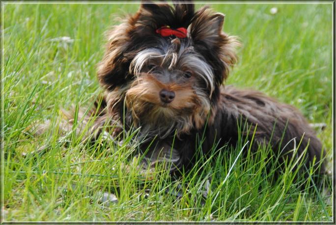 Schoko Yorkshire Terrier Huendin Bamina bei ver la luz 6 monate 1 | Hundezucht von Martina Dase ver-la-luz - Golddust und Biewer Yorkshire Terrier a la Pom Pon
