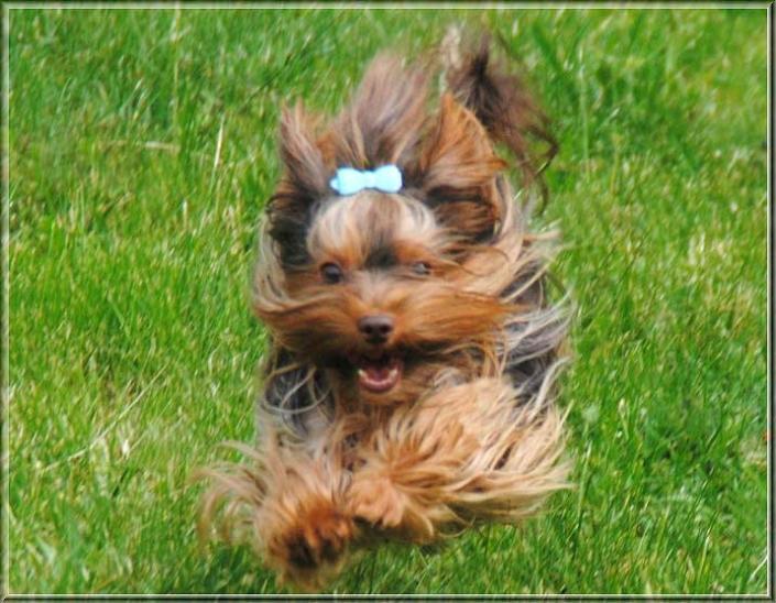 Schoko Yorkshire Terrier Lui 2 Jahre Zucht ver la luz 1 | Hundezucht von Martina Dase ver-la-luz - Golddust und Biewer Yorkshire Terrier a la Pom Pon
