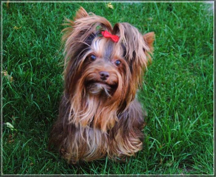 Schoko Yorkshire Terrier Lui 4 Jahre 4 2 | Hundezucht von Martina Dase ver-la-luz - Golddust und Biewer Yorkshire Terrier a la Pom Pon