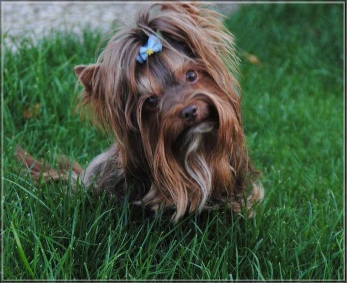 Schoko Yorkshire Terrier Lui 4 Jahre 5 5 5 jpg | Hundezucht von Martina Dase ver-la-luz - Golddust und Biewer Yorkshire Terrier a la Pom Pon