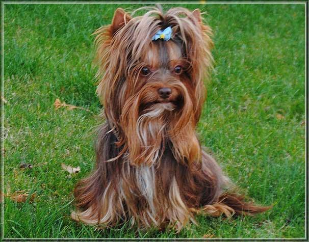 Schoko Yorkshire Terrier Lui 4 Jahre 6 6 6 6 | Hundezucht von Martina Dase ver-la-luz - Golddust und Biewer Yorkshire Terrier a la Pom Pon