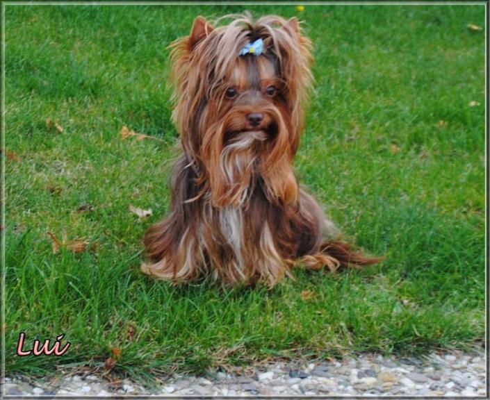 Schoko Yorkshire Terrier Lui 4 Jahre 6 | Hundezucht von Martina Dase ver-la-luz - Golddust und Biewer Yorkshire Terrier a la Pom Pon