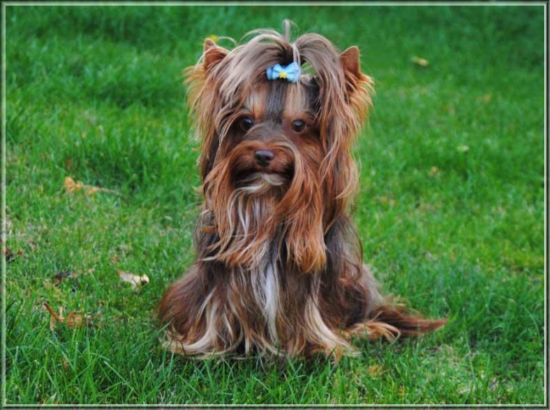 Schoko Yorkshire Terrier Lui 4 Jahre 7 7 7 7 2 2 2 2 | Hundezucht von Martina Dase ver-la-luz - Golddust und Biewer Yorkshire Terrier a la Pom Pon
