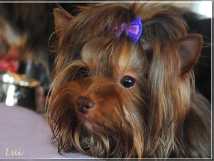 Schoko Yorkshire Terrier Lui bei ver la luz 12 monate 1 1 | Hundezucht von Martina Dase ver-la-luz - Golddust und Biewer Yorkshire Terrier a la Pom Pon