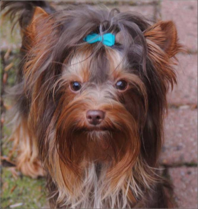 Schoko Yorkshire Terrier Lui bei ver la luz 16monate 1 1 1 | Hundezucht von Martina Dase ver-la-luz - Golddust und Biewer Yorkshire Terrier a la Pom Pon