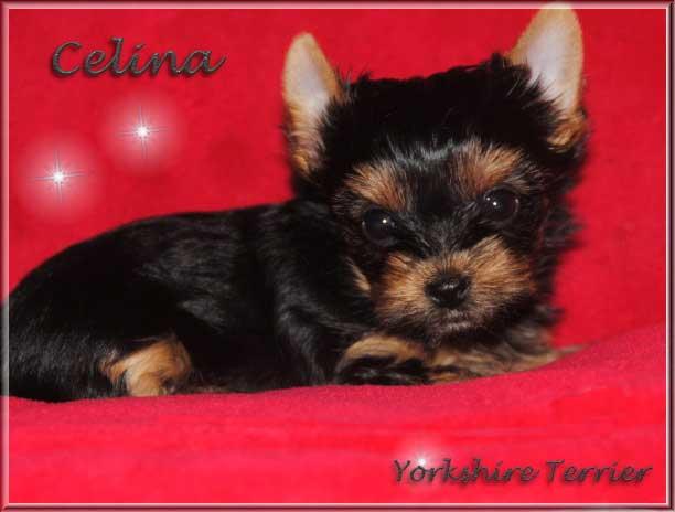 Stina C Yorkshire Terrier Maedchen Celina von ver la luz 8 Wochen 1   Hundezucht von Martina Dase ver-la-luz - Golddust und Biewer Yorkshire Terrier a la Pom Pon