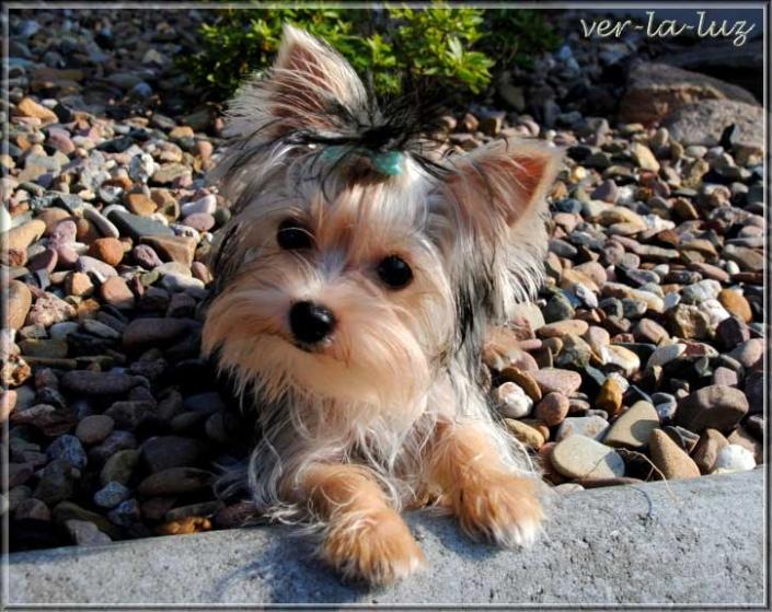 Stina V Vitus Nilas 55 Monate 1 | Hundezucht von Martina Dase ver-la-luz - Golddust und Biewer Yorkshire Terrier a la Pom Pon