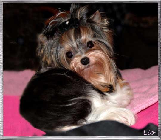 Xelio Lio 9 Mon.3 3 rahmen | Hundezucht von Martina Dase ver-la-luz - Golddust und Biewer Yorkshire Terrier a la Pom Pon