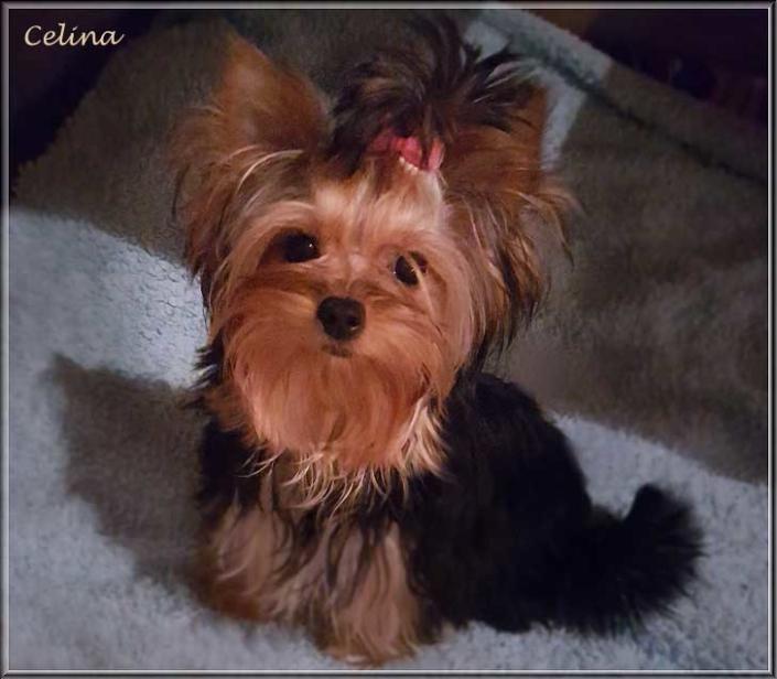 Yorkshire Terrier Huendin Celina von ver la luz 10 mon 1 | Hundezucht von Martina Dase ver-la-luz - Golddust und Biewer Yorkshire Terrier a la Pom Pon