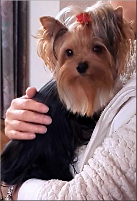 Yorkshire Terrier Huendin Celina von ver la luz 15 J 2 | Hundezucht von Martina Dase ver-la-luz - Golddust und Biewer Yorkshire Terrier a la Pom Pon