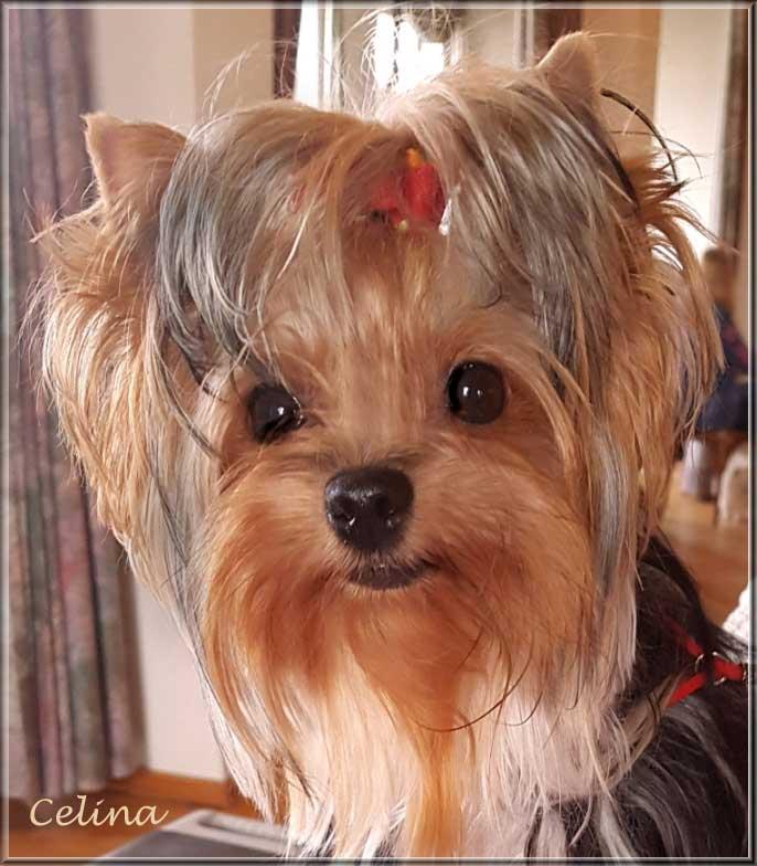 Yorkshire Terrier Huendin Celina von ver la luz 15 J | Hundezucht von Martina Dase ver-la-luz - Golddust und Biewer Yorkshire Terrier a la Pom Pon