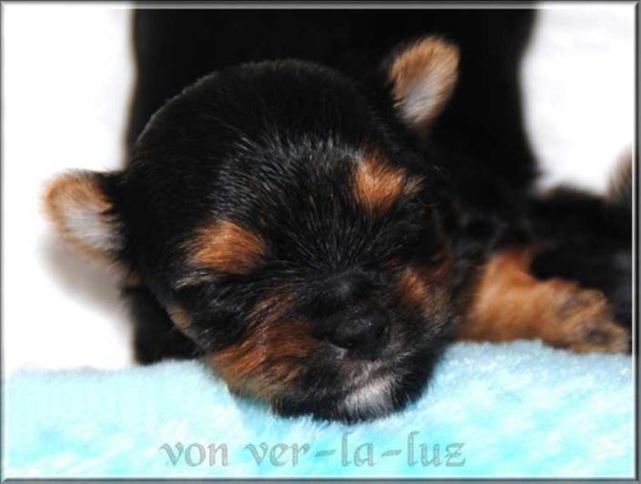 Yorkshire Terrier Welpe von ver la luz Leonie N Ruede black and tan 10 Tage ver la luz   Hundezucht von Martina Dase ver-la-luz - Golddust und Biewer Yorkshire Terrier a la Pom Pon