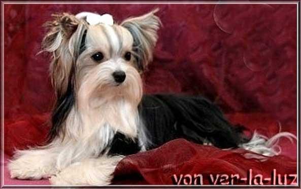 anjo HP 1 | Hundezucht von Martina Dase ver-la-luz - Golddust und Biewer Yorkshire Terrier a la Pom Pon