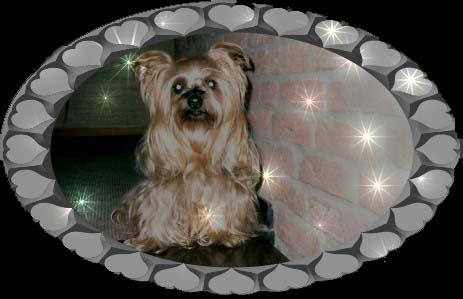 bienchen2 | Hundezucht von Martina Dase ver-la-luz - Golddust und Biewer Yorkshire Terrier a la Pom Pon